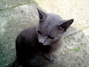 gris, chat domestique, le béton, le chemin
