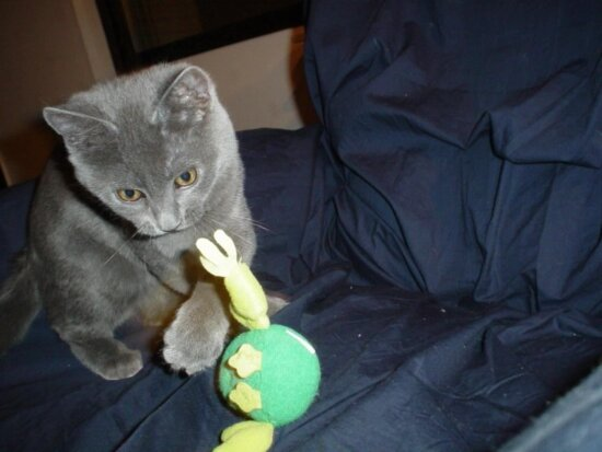 gray, play, cat, home
