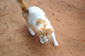 yellow, white cat