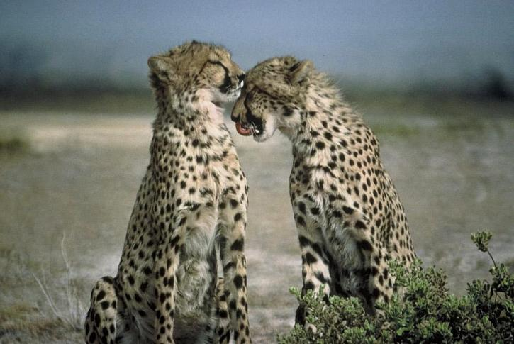 cheetah, animal, acinonyx, jubatus