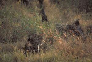 Africaine, le léopard, Panthera, pardus