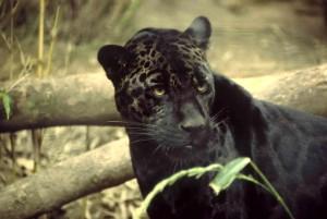noir, jaguar, animmal, mammifère