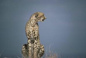 Гепард, африканские, хищник, млекопитающих, животных, acinonyx jubatus