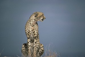 cheetah, African, predator, mammal, animal, acinonyx, jubatus