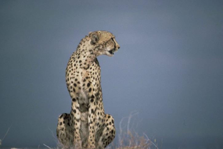 guépard, africaine, prédateur, mammifère, animal, acinonyx, jubatus