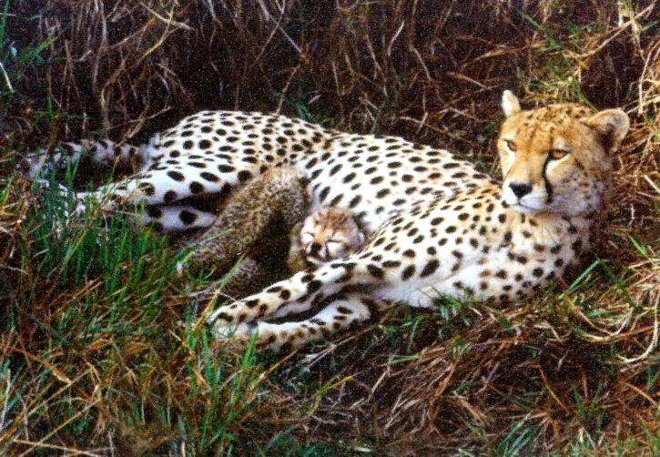 cheetah, fastest, land, animal, Namibia