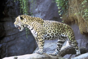 jaguar, animal, panthera, onca