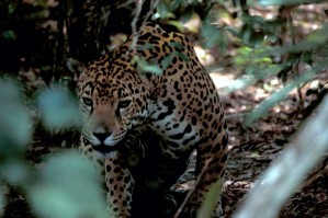 giaguaro, Panthera, onca, in via di estinzione, specie