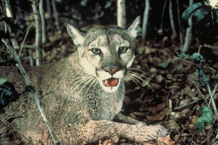 panther, cat, wild, animal