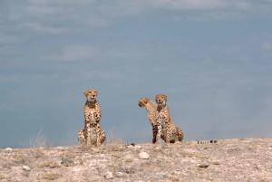 trois, guépards, assis, Kenya, Afrique, acinonyx, jubatus