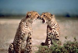 deux, guépards, africains, animaux, Acinonyx, jubatus, face