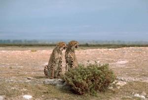 deux, guépards, africaine, animaux, acinonyx, jubatus, assis, devant, buisson