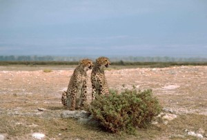 two, cheetahs, African, animals, acinonyx, jubatus, sitting, front, bush