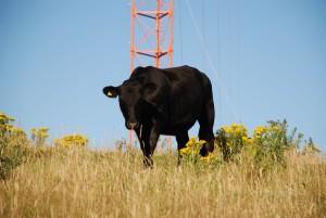 čierna, bull, Whitireia, park