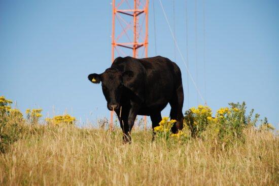black, bull, Whitireia, park