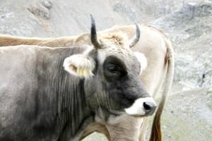 bovine, aimal