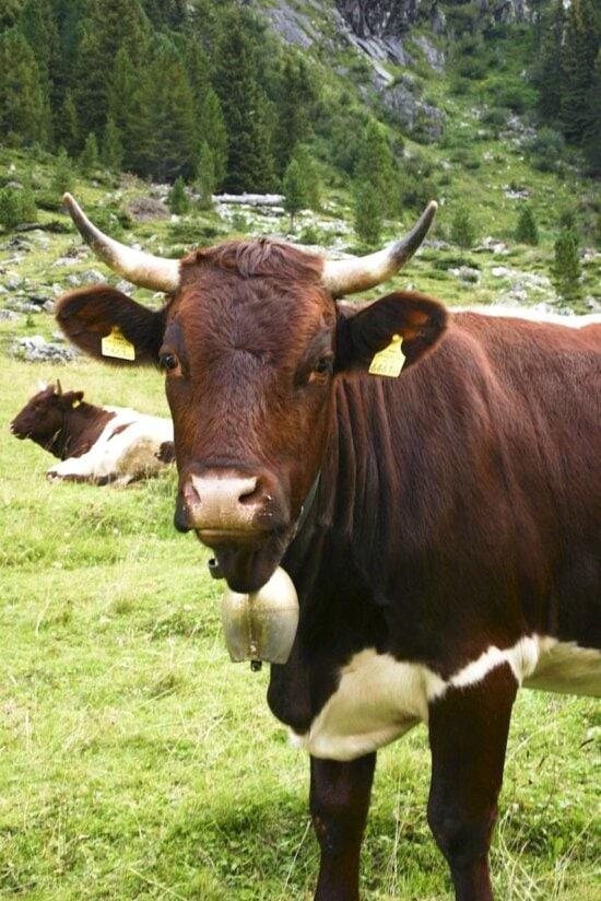 bovine, animal, field
