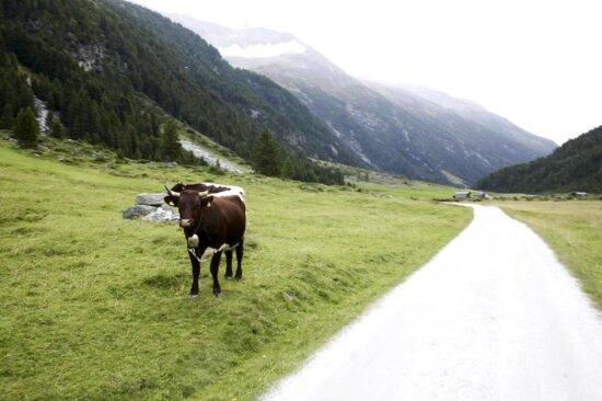 bovine, catle, beside, road