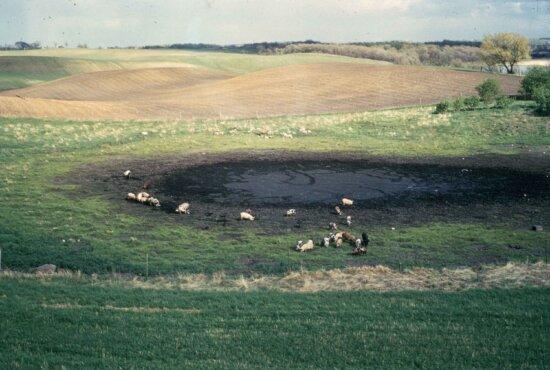 cattle, prairie, pothole