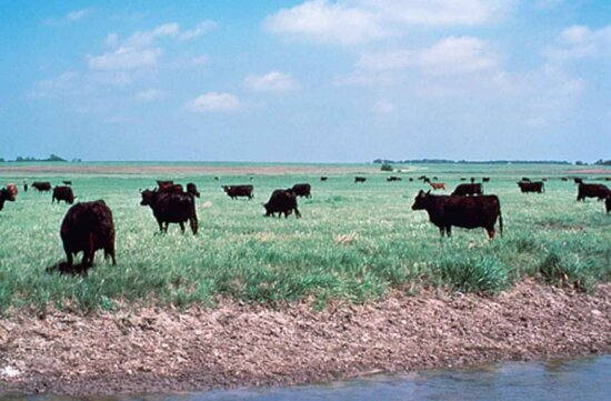cattle, grazing, wetland, cows, swamp, area