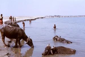 ganado, agua, personas, río, Bangladesh
