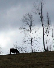 cow, animal, grazing, hill