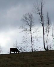 vaca, pastando, colina