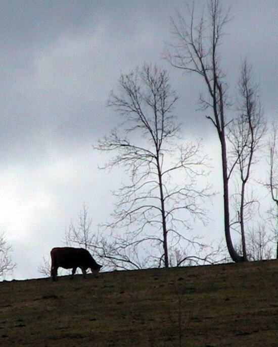 cow, grazing, hill