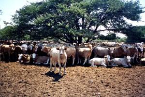 vaches, troupeau, écorchures, Botswana, Afrique