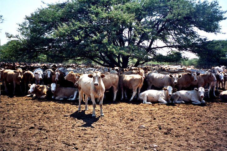 lehmät, karjan, hankaumat, Botswana, Afrikka