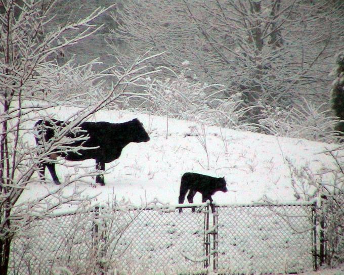 коровы, снег
