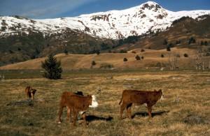 domestic animals, livestock