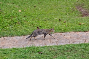 mačka domáca, chodník