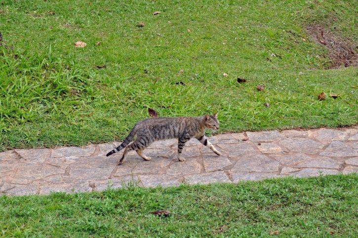 chat domestique, trottoir