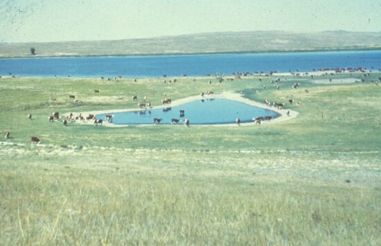 domestic cows, prairie, pothole, lake, background