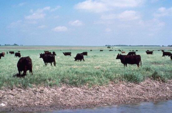 herd, grazing, wetlands