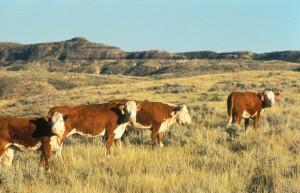 Hereford, kvæg