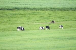 holstein, catle, feeding, fields