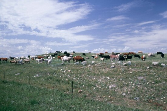 duży, stada bydła