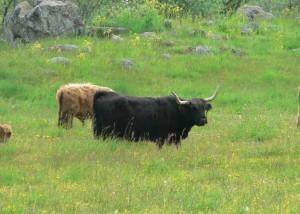 long, horned, cattle