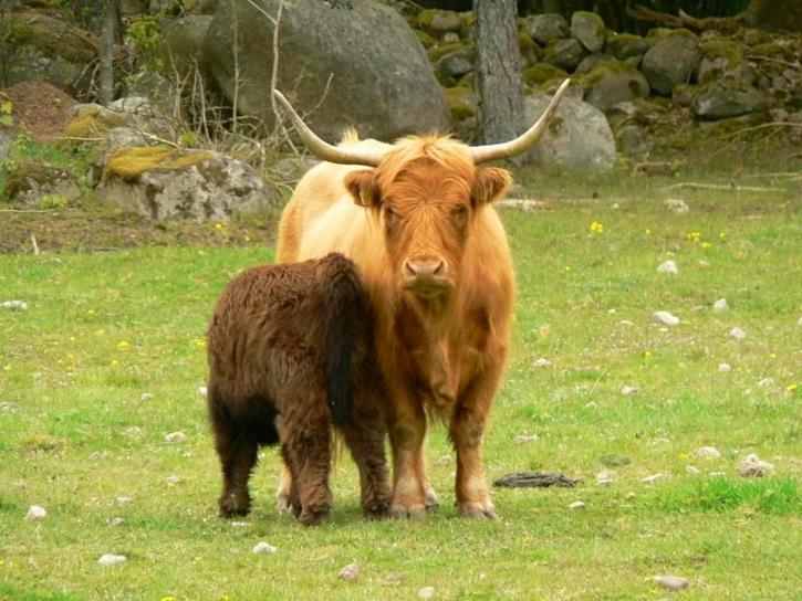 long, cornes, bétail, femme, jeune