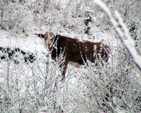 looking, snowy, bush, cow