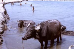 karja, lehmä, eläin, vesi, Bangladesh