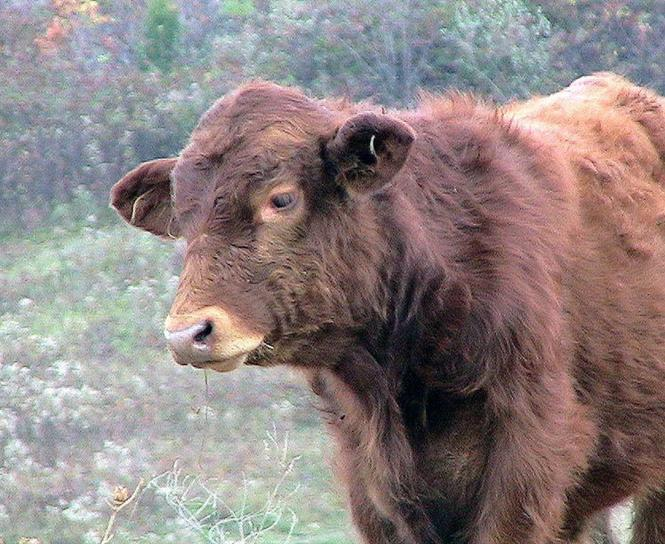 simmental, calf, cow
