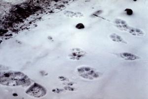 coyote, canis latrans, cottontail, rabbit, sylvilagus, nuttallii, tracks, estes, park