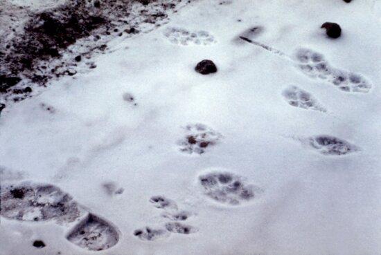 coyote, canis latrans, de rabo blanco, conejo, sylvilagus nuttallii, pistas, estes, parque
