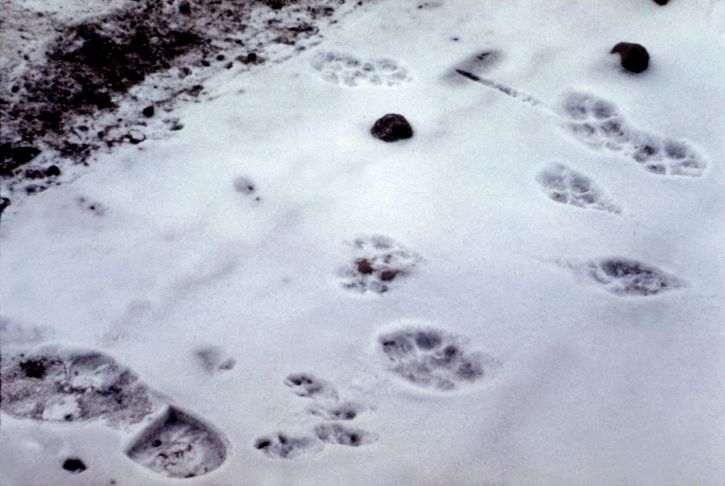 coyote, canis latrans, cottontail, rabbit, sylvilagus nuttallii, tracks, estes, park