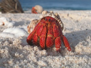 hermit, crab, emerges, shell