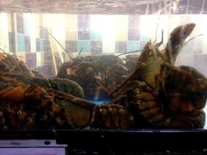American, lobsters, homarus Americanus