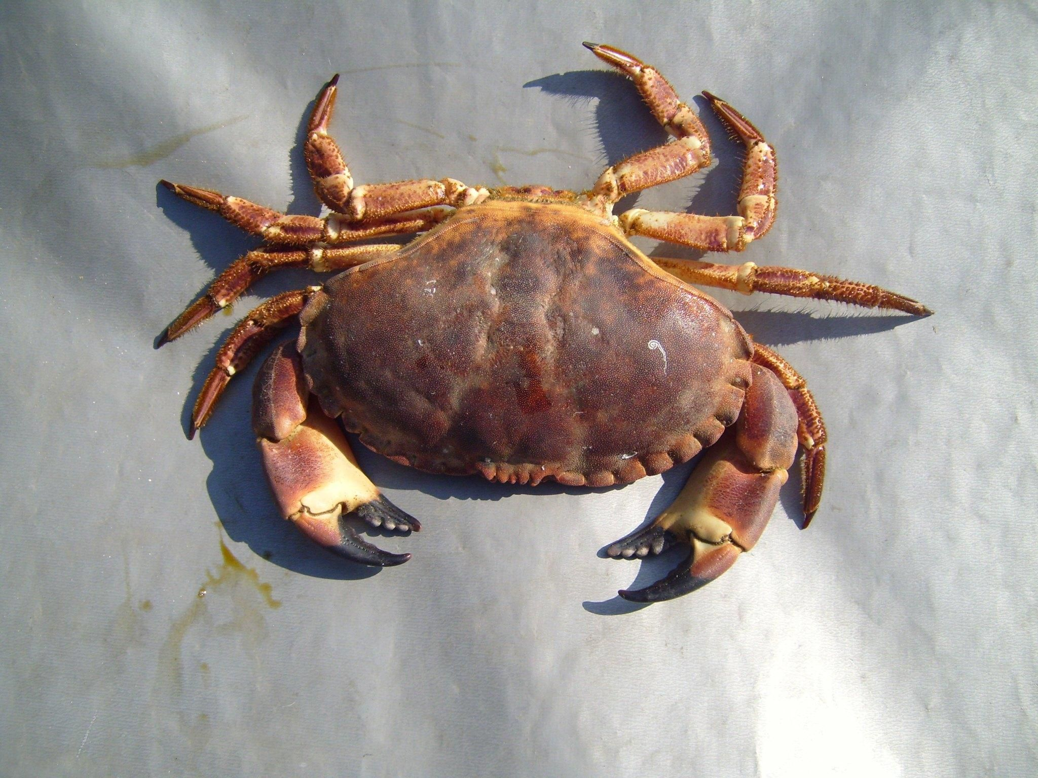 Free picture: arthropods, crab